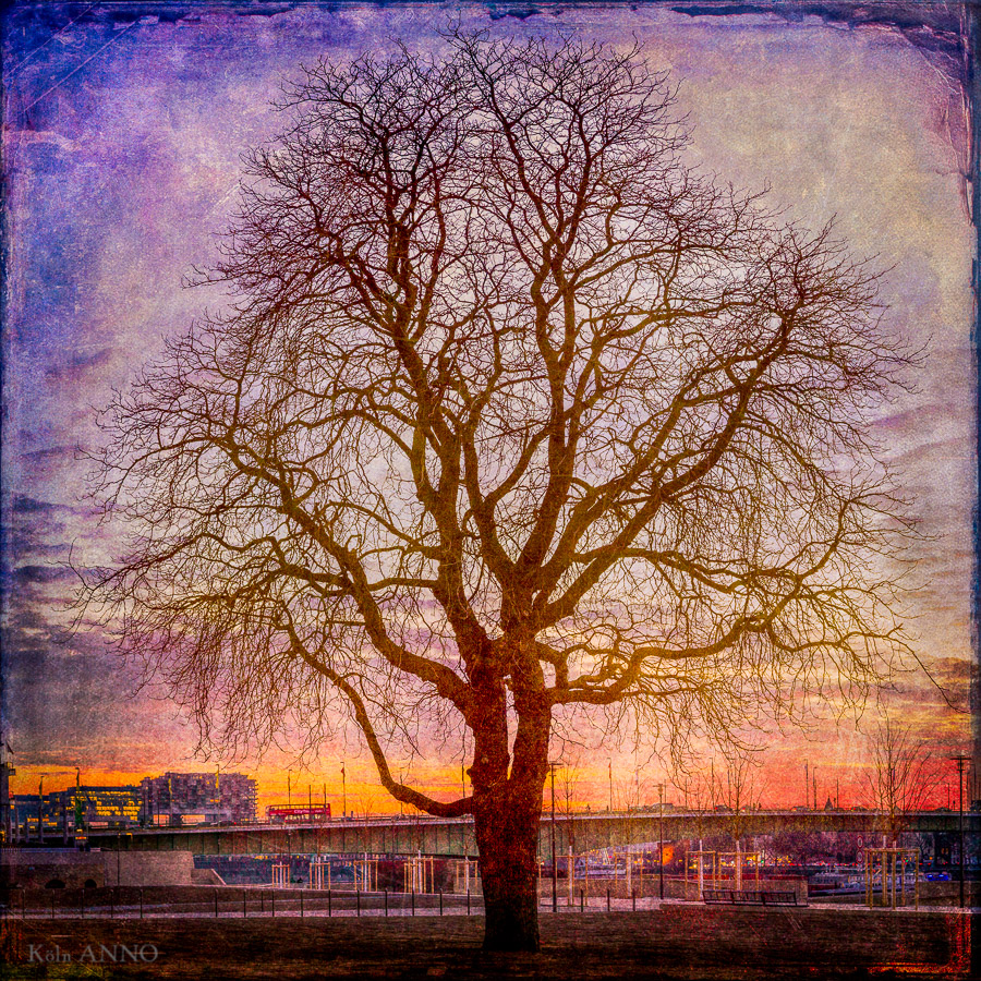 Bäume Kölns