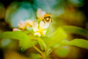 Biene von hinten vor Blüte