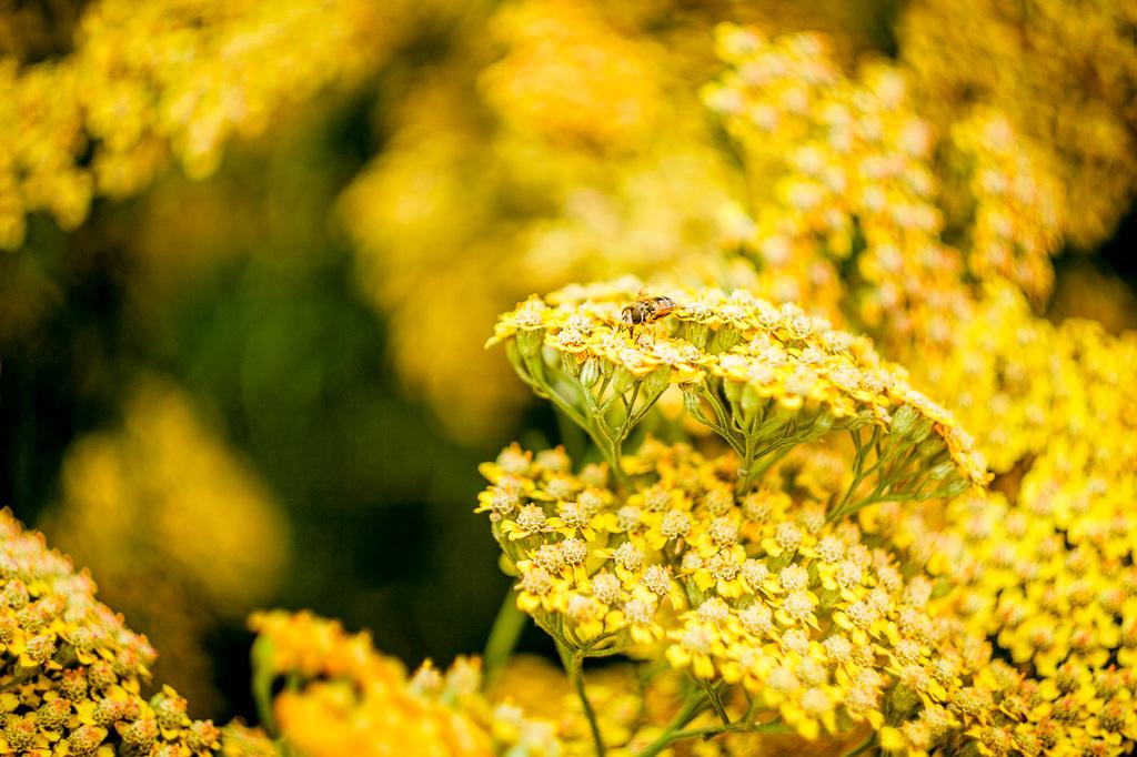 Überforderte Biene auf Blütenmeer