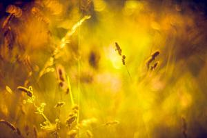 Einsames Insekt auf Ähre vor Sonne